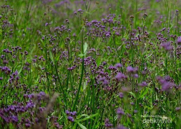 Hamparan Indah Bunga Verbena Yang Hiasi Jalur Pendakian Semeru