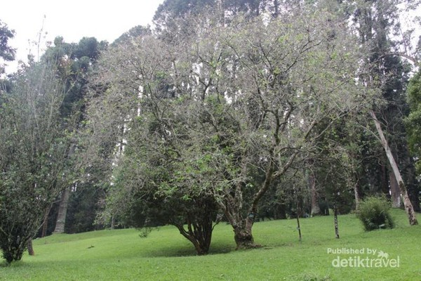 Pohon sakura tertua di Kebun Raya Cibodas