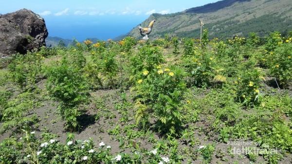 Tanaman di area Panorama Manulalu beserta patung ayam jago