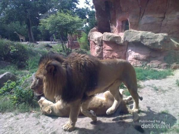Singa dan harimau yang sedang tidur