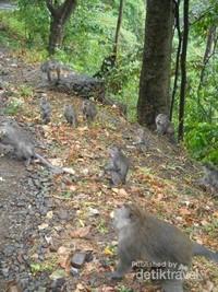 Disepanjang jalan , kita akan menjumpai monyet-monyet jinak , beberapa berukuran kecil tapi ada juga yang berukuran besar.