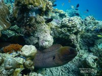 Belut moray