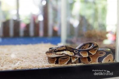 Ketemu Reptil-reptil Lucu di Ancol