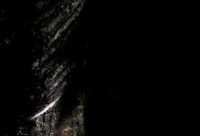 Melongok Isi Pabrik Kondom Karet Alami di Hutan Amazon
