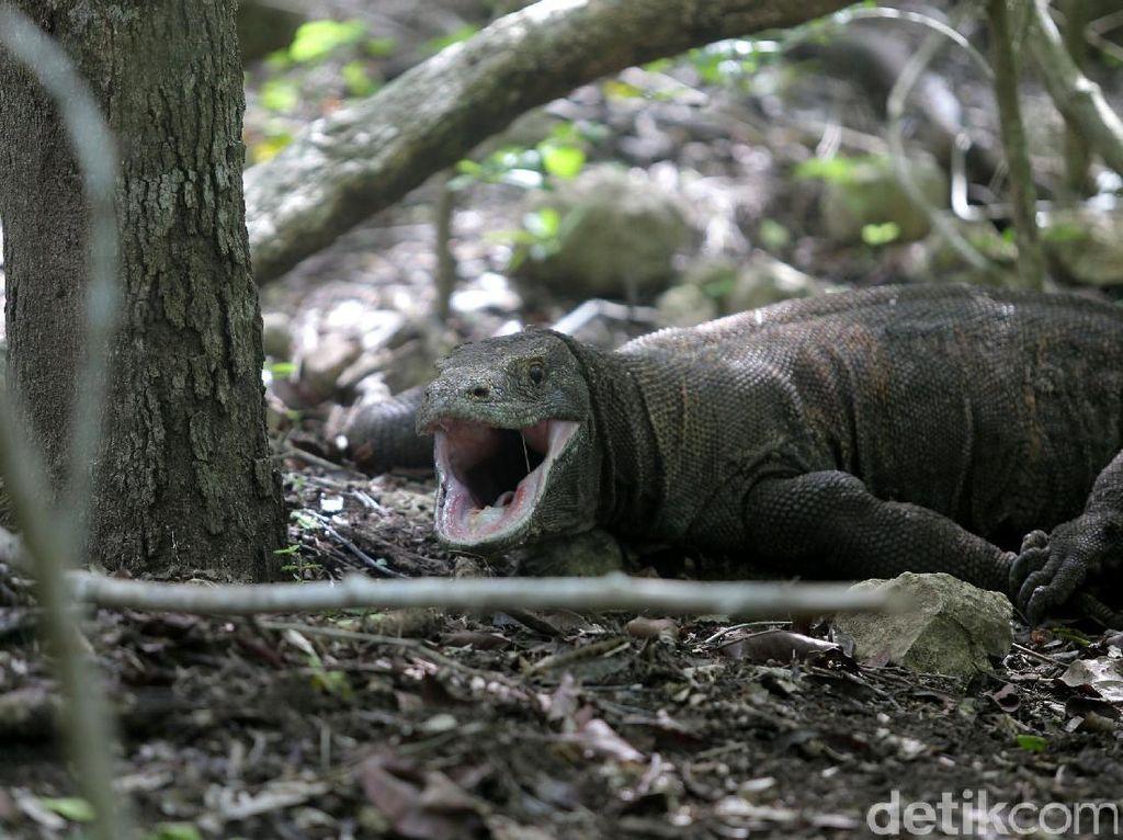Video Brutal Komodo Makan Kambing