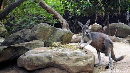 Jumpa Aneka Satwa Asli Australia Di Kebun Binatang Taronga