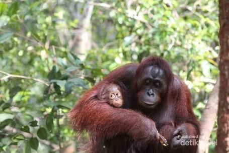 Yuk, Sayangi Orangutan di Taman Nasional Tanjung Puting