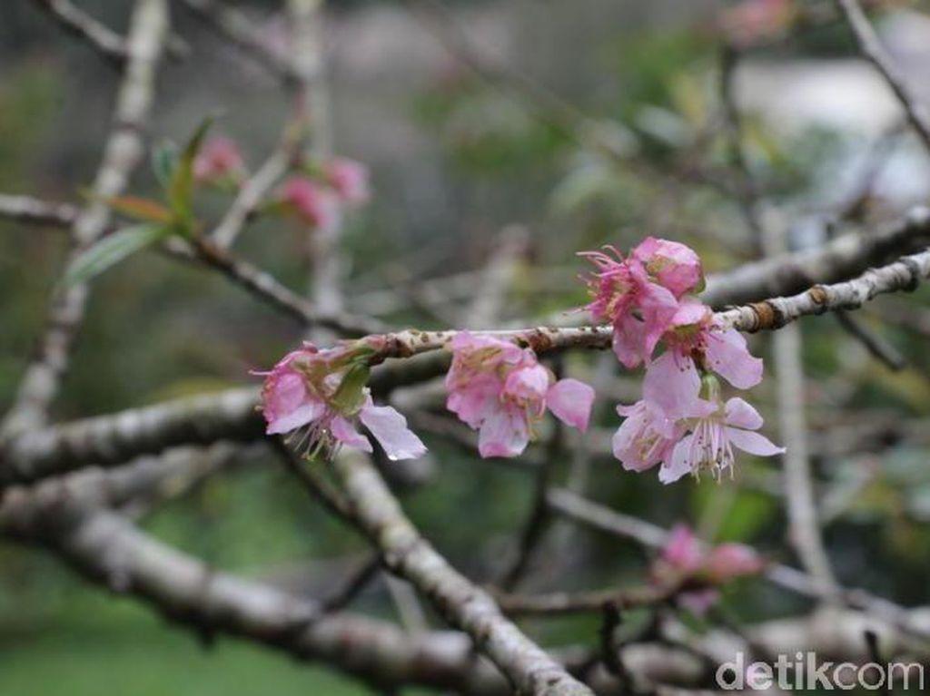 Jepang? Bukan, Ini Sakura di Kebun Raya Cibodas