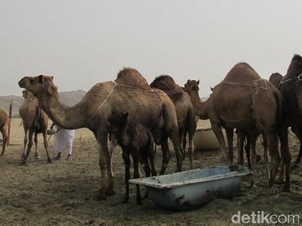 Wisata Santai di Arab Saudi, Lihat Unta dan Kebun Kurma