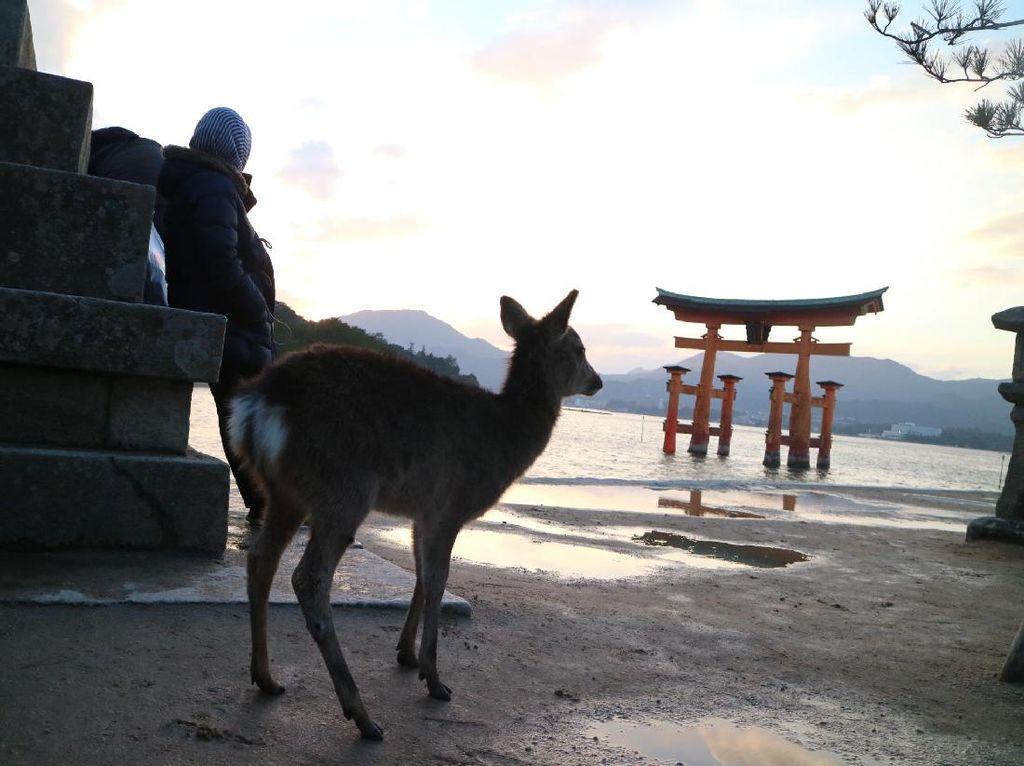 Tentang Rusa Sika, Hewan Suci dari Jepang