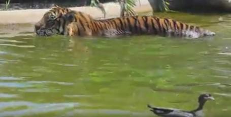 Bebek Paling Pemberani, Kerjai Harimau di Bonbin Australia