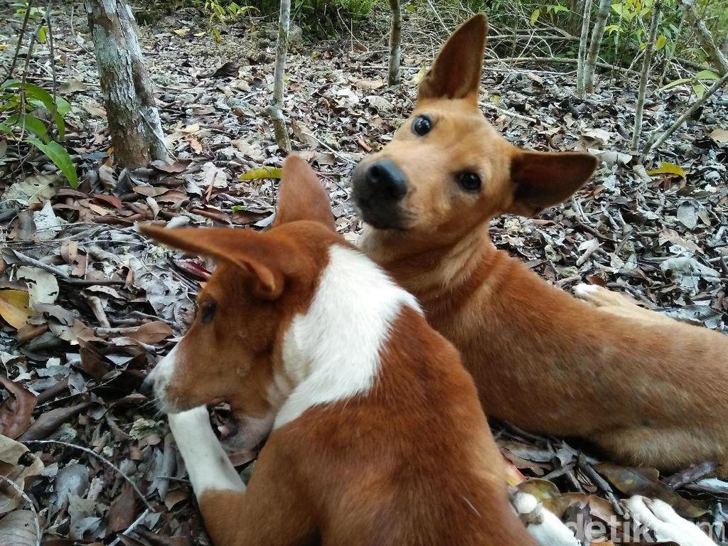 Selama perjalanan akan ada anjing-anjing kecil peliharaan pemandu yang akan menemani treking. Jadi traveler tak perlu takut nyasar dan mereka juga sangat jinak (Bonauli/detikTravel)