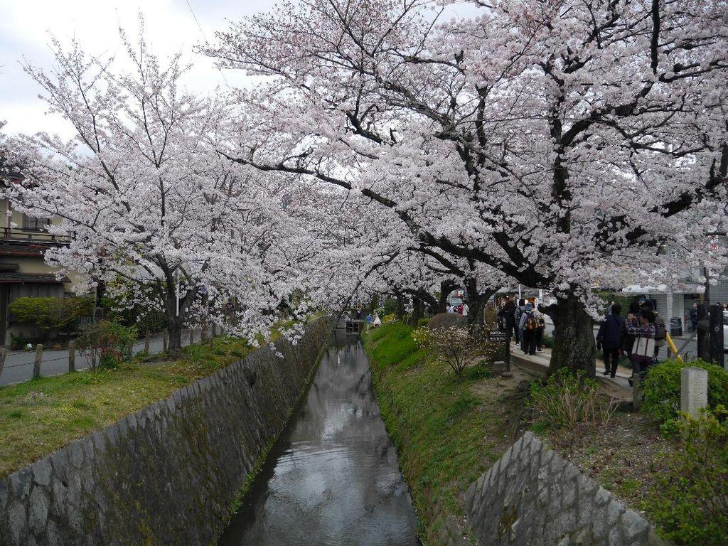 Mau Lihat Sakura yang Cantik di Kyoto, Baca Dulu 5 Tips Ini!