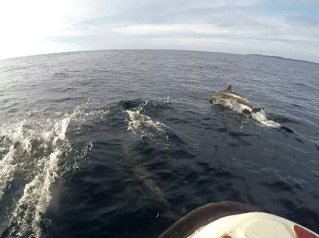 Momen Super Langka, Naik Perahu di Derawan Ditemani Lumba-lumba!