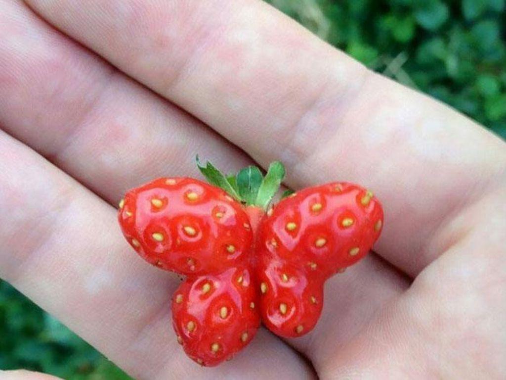 Bentuk buah dan sayur bisa tidak wajar sekaligus lucu seperti hewan. Salah satunya buah strawberry yang bentuknya mirip kupu-kupu!