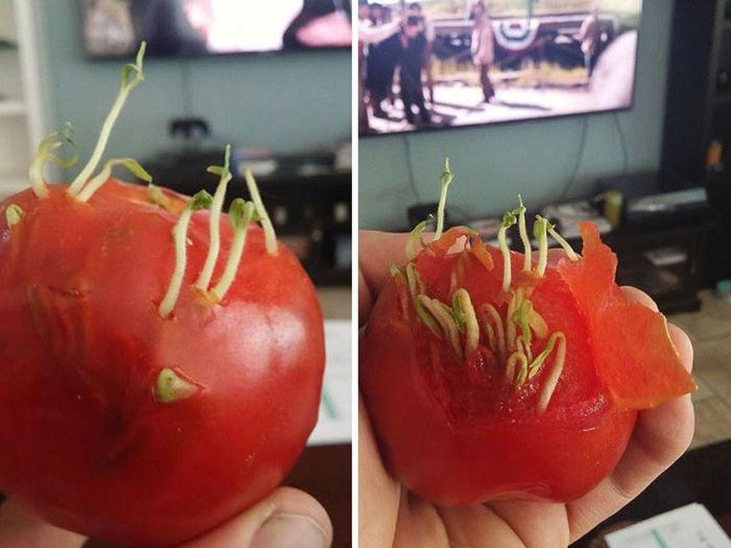 Kalau tadi tunas tumbuh di permukaan kulit tomat, yang ini tunas tumbuh subur dari bagian dalam daging tomat. (Foto: Bored Panda)