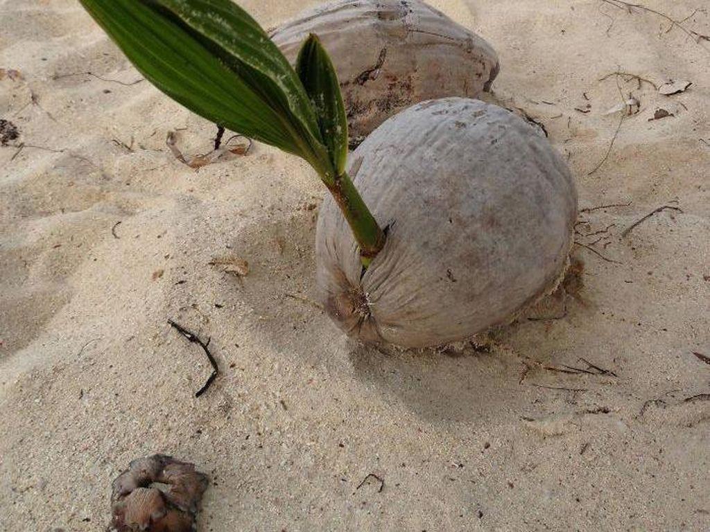 Kalau yang ini amat unik. Terlihat butiran kelapa di pantai justru ditumbuhi pohon palem yang sudah agak tinggi. (Foto: Bored Panda)