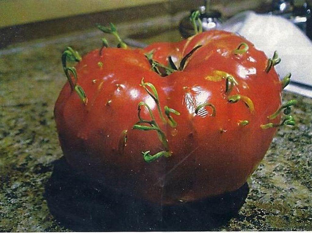 Ada juga tomat yang kulit-kulitnya ditumbuhi tunas baru. Tampilannya mirip komedo ya? (Foto: Bored Panda)