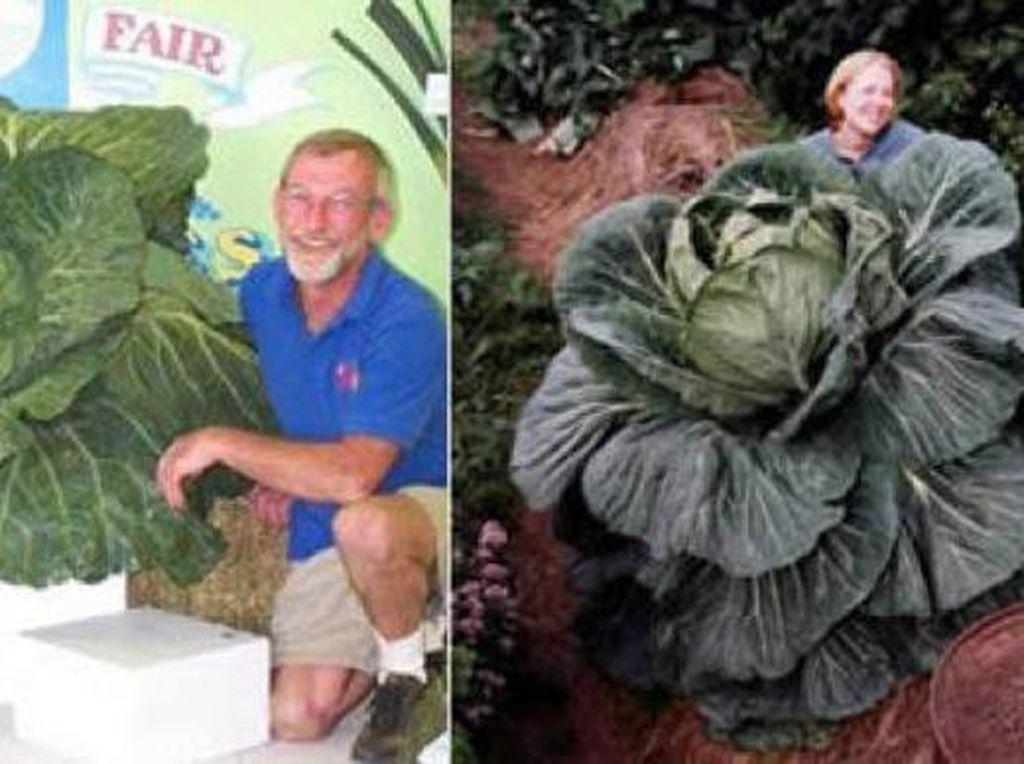 Ini adalah kubis hijau yang terbesar di bumi. John evans dari Alaska yang menanam sayuran ini. Ia adalah pemegang 7 rekor dunia untuk sayuran raksasa, dan menanam kubis hijau ini pada tahun 1998. Foto: Istimewa