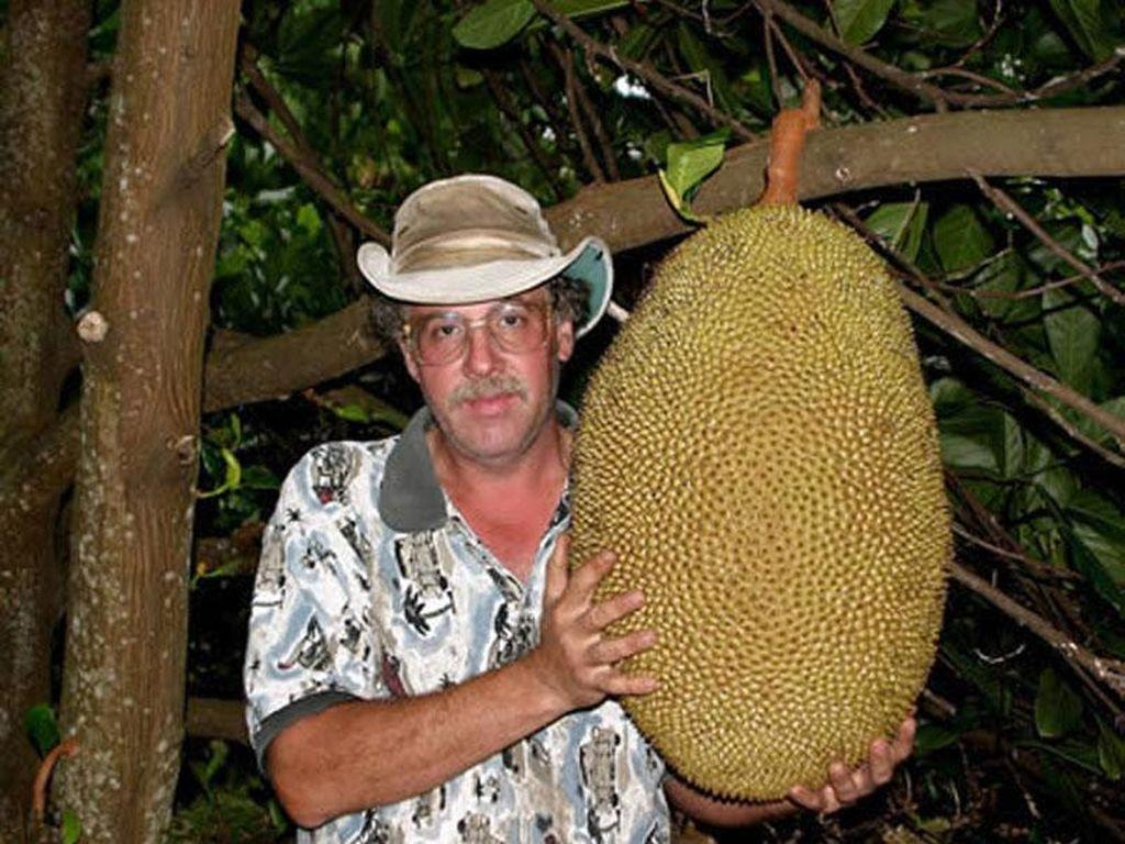 Pemecah rekor buah nangka terbesar ini ada pada tahun 2003 dan masih jadi rekor nangka terbesar hingga kini. George dan Margaret Schattauer dari Hawaii menanam buah ini. Di tanam di India, buah ini beratnya mencapai 34,6 Kg! Foto: Istimewa