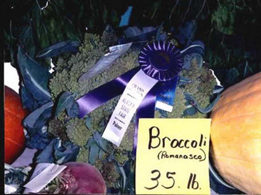 Kalau yang ini adalah brokoli terberat di dunia. Di tahn 1993, ketika John Evans mendapat rekor pertamanya menanam sayuran super besar. Brokoli ini beratnya mencapai 16 Kg. Foto: Istimewa