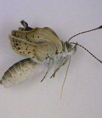 Dalam laporan yang dipublikasi di jurnal Scientific Reports, sekelompok peneliti menemukan mutasi pada spesies kupu-kupu di daerah Fukushima. Menurut peneliti kupu-kupu tersebut memiliki bentuk sayap yang lebih kecil, dan bentuk mata serta antena yang abnormal dari biasanya. (Foto: BBC)