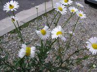 Foto yang diunggah oleh pengguna Twitter san_kaido ini menunjukkan kelopak bunga aster yang bermutasi di dekat PLTU Fukushima, Jepang. (Foto: Twitter/san_kaido)