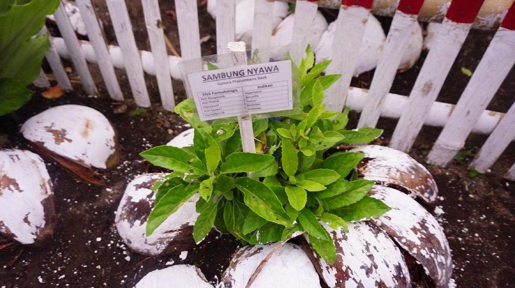 Inspirasi dari Desa Pinilih, Menanam Obat di Kebun Sendiri